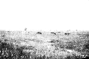 Colonia Elena: cavalli bradi al pascolo