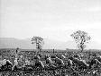 Pecore al pascolo presso Casa Tivera