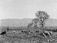 Pecore al pascolo presso il Castellone