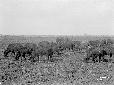 Bufalotti che pascolano nella palude presso Mesa