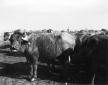 Bufali a Selcella alla mungitura