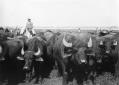 Bufali a Selcella per la mungitura